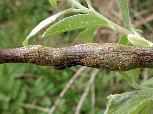 Hexomyza simplicoides: gall on Salix spec.