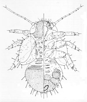 Livilla hollisi: 5th instar larva