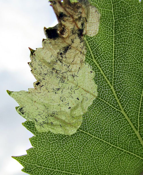 Eriocrania cicatrixella: occupied mine on Betula pendula