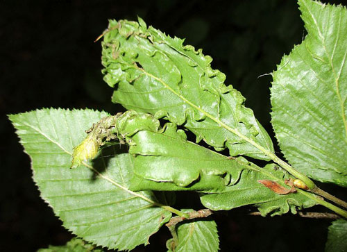 Aculops macrotrichus: gall on Carpinus betulus