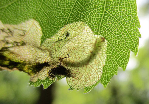 Heringcrania unimaculella: occupied mine on Betula pendula