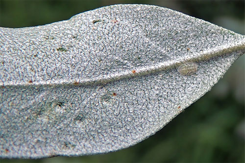 Trioza neglecta: pit galls on Elaeagnus angustifolia