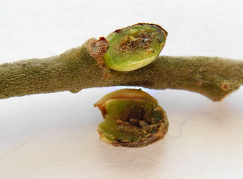 Euura mucronata: gall on Salix cinerea