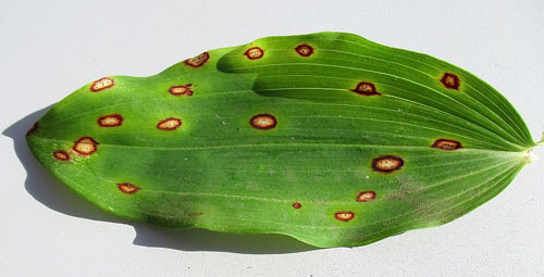 Phyllosticta convallariae: leaf spots on Polygonatum spec.