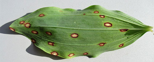 Phyllosticta cruenta: leaf spots on Polygonatum spec.