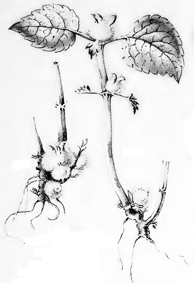 Dasineura lamiicola: galls on Lamium maculatum
