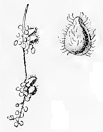 Andricus foecundatrix catkin galls on Quercus robur