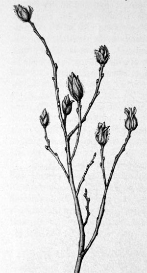 Rabdophaga jaapi: galls on Salix repens