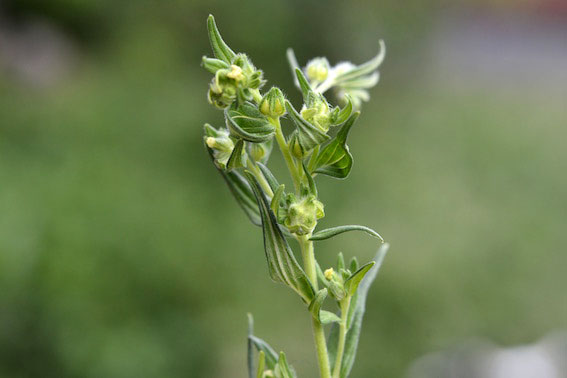 Dasineura lithospermi: galls on Lithospermum officinale