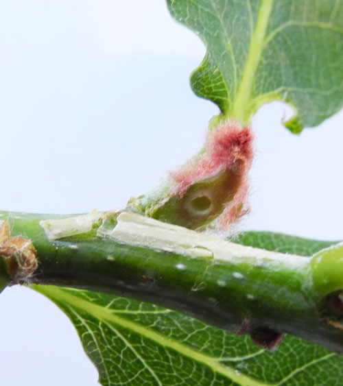 Andricus solitarius FF young gall on Quercus robur