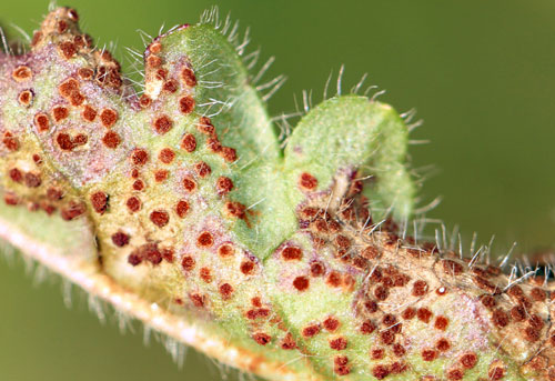 Puccinia betonicae on Stachys officinalis