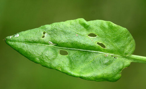 Adscita statices: egg on Rumex acetosella