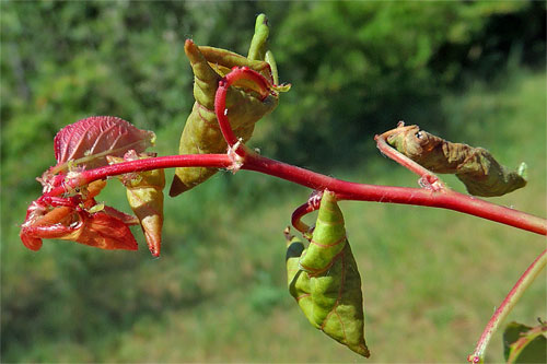Phorodon humuli: galls on Prunus armeniaca
