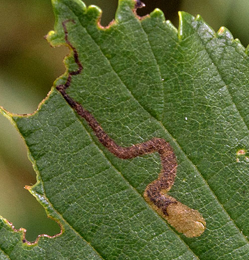 Stigmella lemniscella: vacated mine on Ulmus spec.