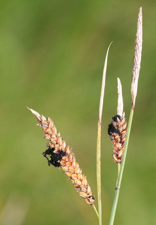 Anthracoidea pratensis on Carex flacca