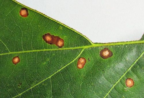 Septoria spec. on Quercus rubra
