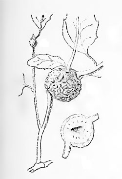 Synophrus politus galls on Quercus suber