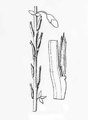 Dasineura tubicola: galls on Cytisus scoparius