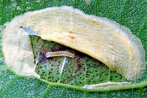Phyllonorycter platani: opened mine with larva