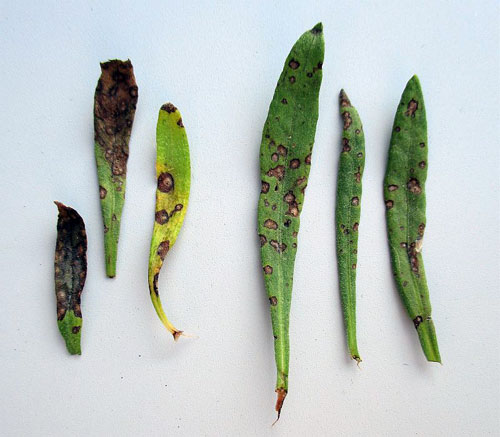 Septoria lavandulae: leaf spots on Lavandula angustifolia