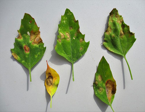 Passalora dubia: leaf spots on Chenopodium album