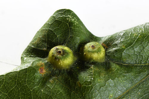 Neuroterus numismalis FM galls on Quercus robur