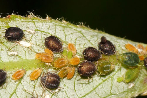 Aphis farinosa: apterae and larvae on Salix alba