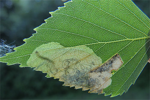 Eriocrania sparrmannella: occupied mine on Betula pendula