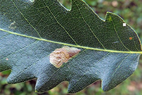 Profenusa pygmaea: occupied mine on Quercus cerris