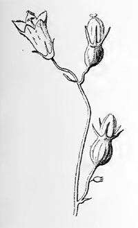Miarus campanulae: galls on Campanula rotundifolia