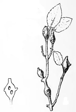 Dasineura rufescens: galls on Phillyrea spec.