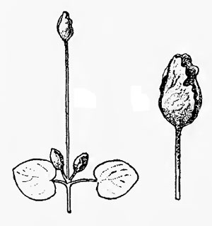 Dasineura vincae: galls on Vinca major