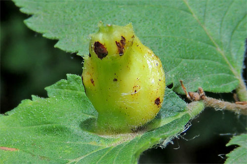 Colopha compressa: gall on Ulmus glabra