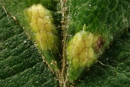 Aceria tenella: galls on Carpinus betulus