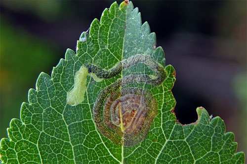 Stigmella prunetorum: vacated mine on Prunus cerasifera