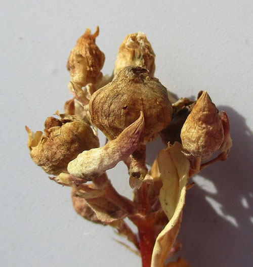 Thecaphora saponariae: galls on Saponaria officinalis