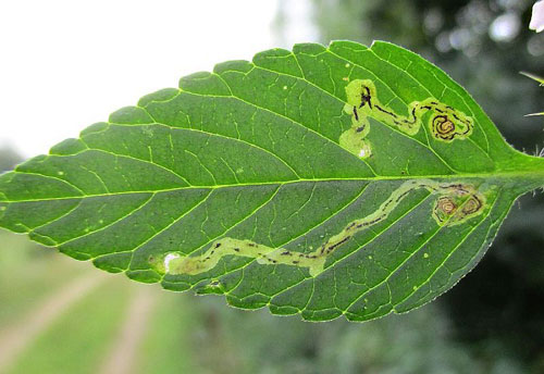 Liriomyza eupatorii: vacated mines on Galeopsis spec.