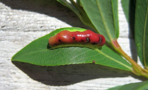 Euura virilis: gall on Salix purpurea