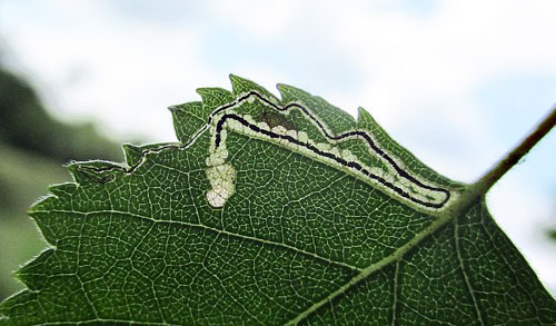 Stigmella confusella: vacated mine on Betula pubescens