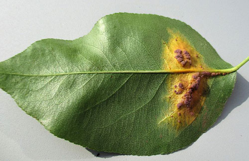 Tuberculina persicina on Gymnosporangium sabina on Pyrus communis
