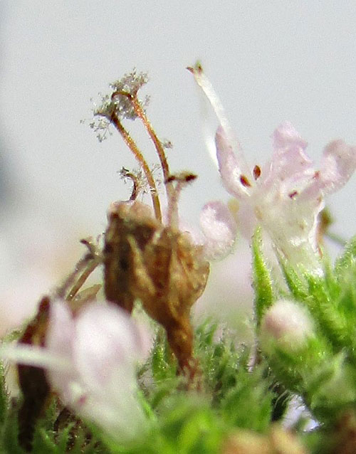 Peronospora stigmaticola on Mentha spec.