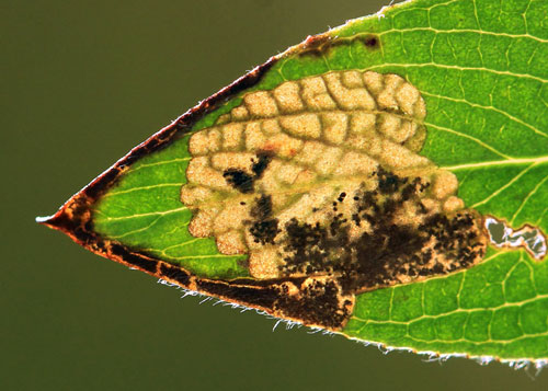 Stigmella obliquella: vacated mine on Salix spec.