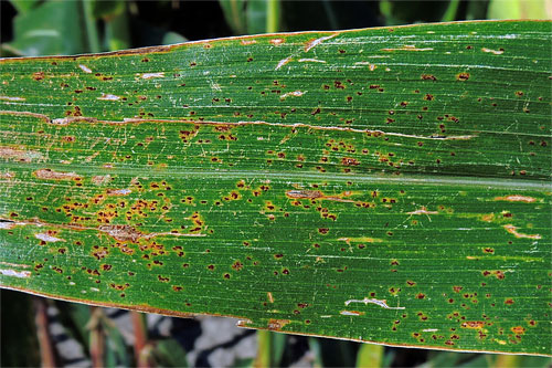 Puccinia sorghi on Zea mays