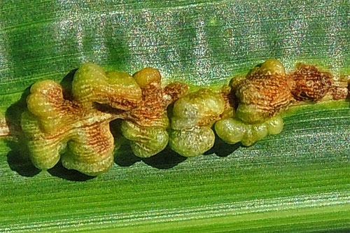 Mycosarcoma maydis on Zea mays