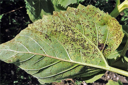 Puccinia helianthi on Helianthus annuus