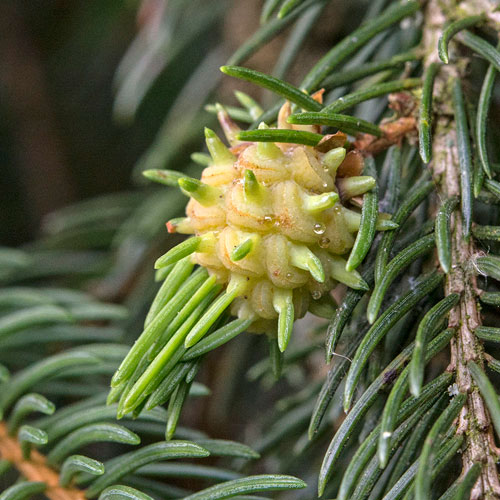 Adelges tardus: gall on Picea abies
