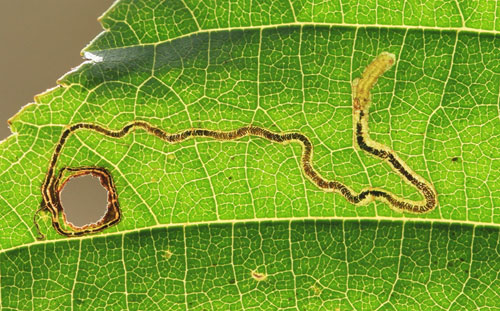 Stigmella glutinosae: occupied mine on Alnus glutinosae