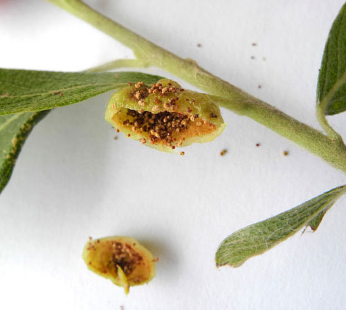 Euura pedunculi: gall on Salix cinerea