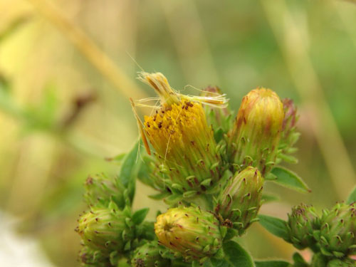 Hellinsia carphodactyla: feeding trace on Inula conyzae