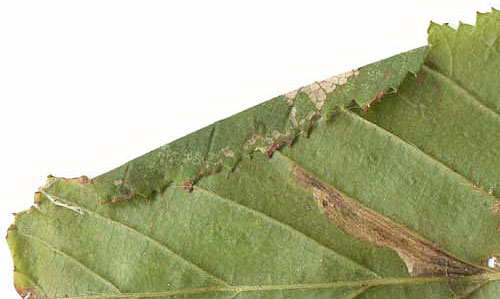 Parornix carpinella mine on Carpinus betulus